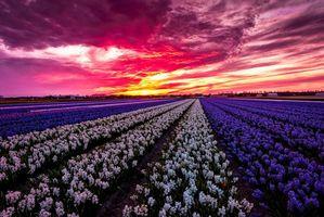 Фото бесплатно Лиссе, Нидерланды закат, цветы