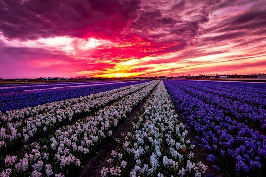 Заставки Лиссе, Нидерланды закат, цветы