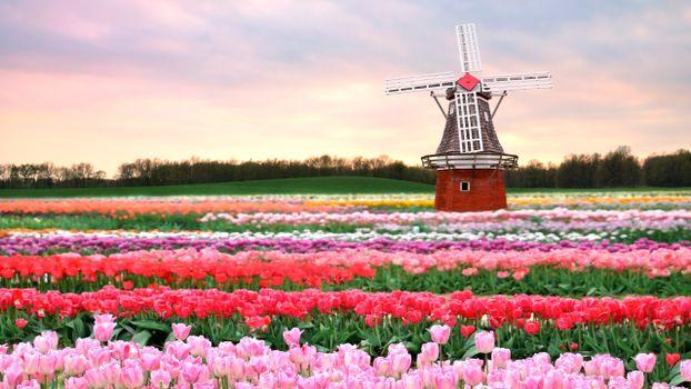 Photo free field, flowers, tulips