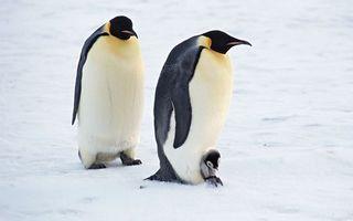 Бесплатные фото пингвины,перья,крылья,птенец,пух,снег