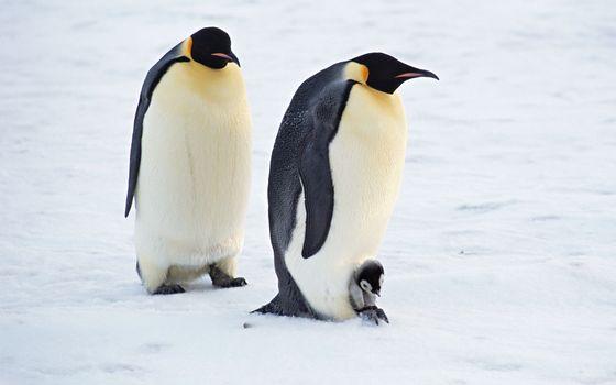Фото бесплатно пингвины, перья, крылья