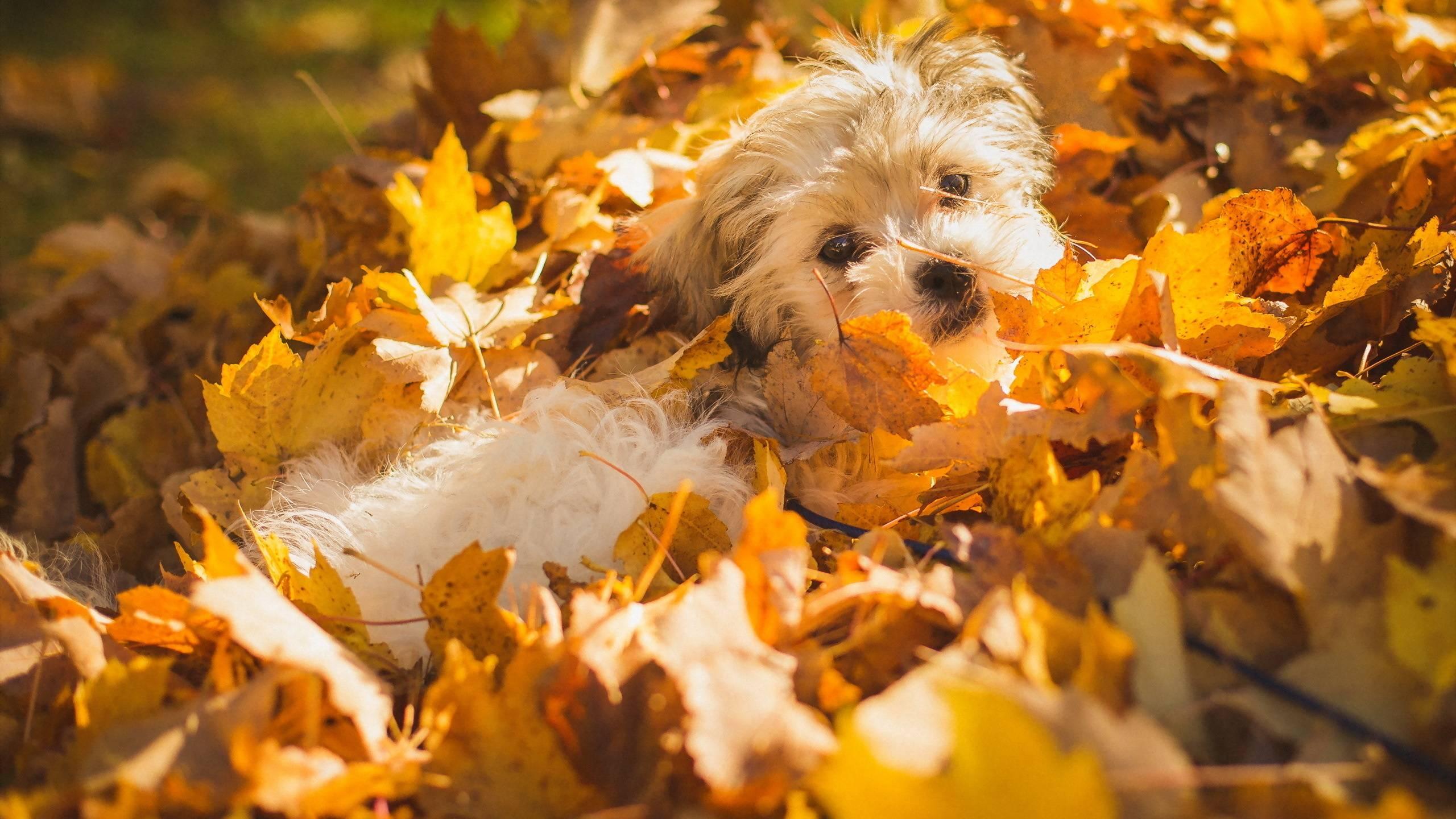 Обои собака, листопад, кленовые листья, осень