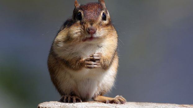 Photo free chipmunk, rodent, muzzle