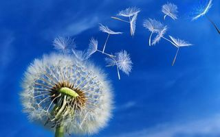 Фото бесплатно небо, семена, одуванчик