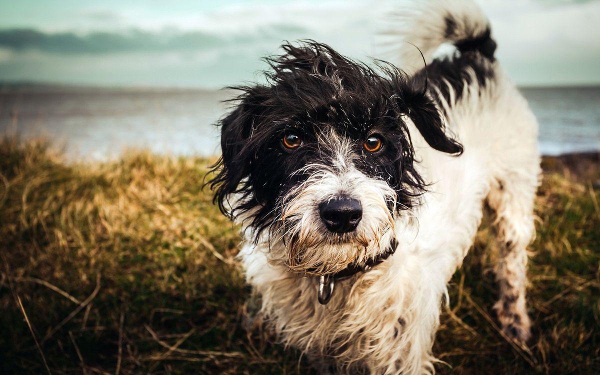 Фото бесплатно пес, морда, лапы, хвост, шерсть мокрая, ошейник, берег, озеро, собаки