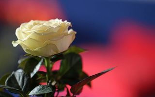 Бесплатные фото роза,лепестки,белые,стебель,листья,зеленые