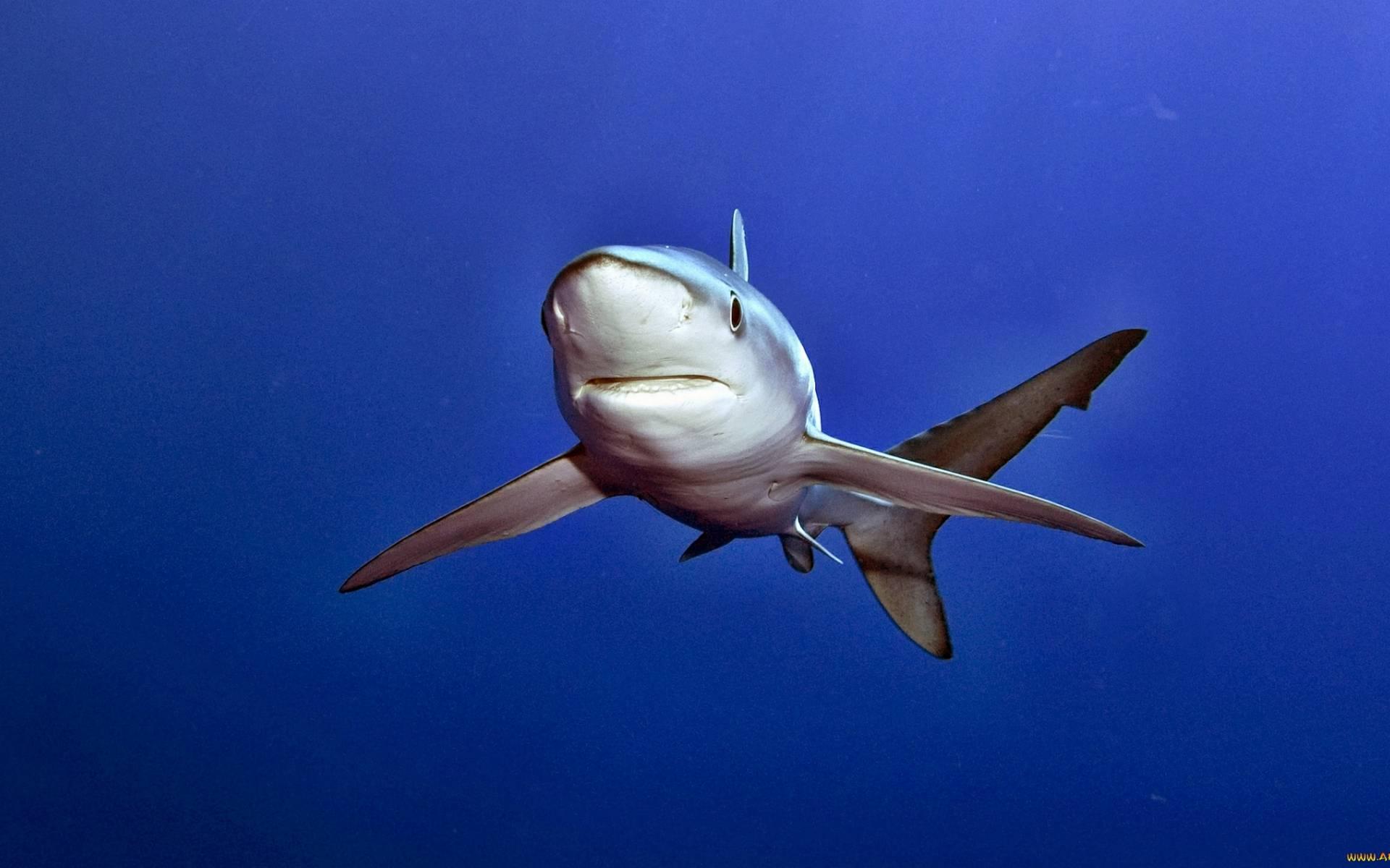 обои акула, морда, пасть, глаза картинки фото