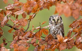 Бесплатные фото сова,глаза желтые,клюв,перья,ветви,листья