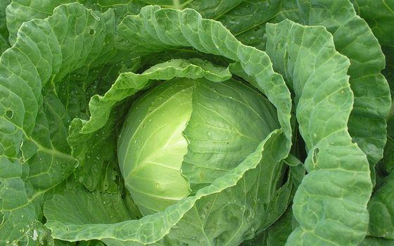 Фото бесплатно овощ, капуста, кочан