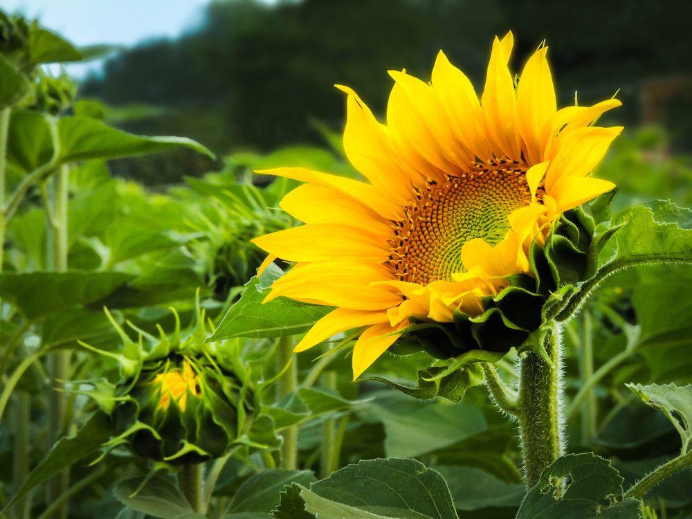 Фото бесплатно поле, подсолнухи, цветы, флора - на рабочий стол