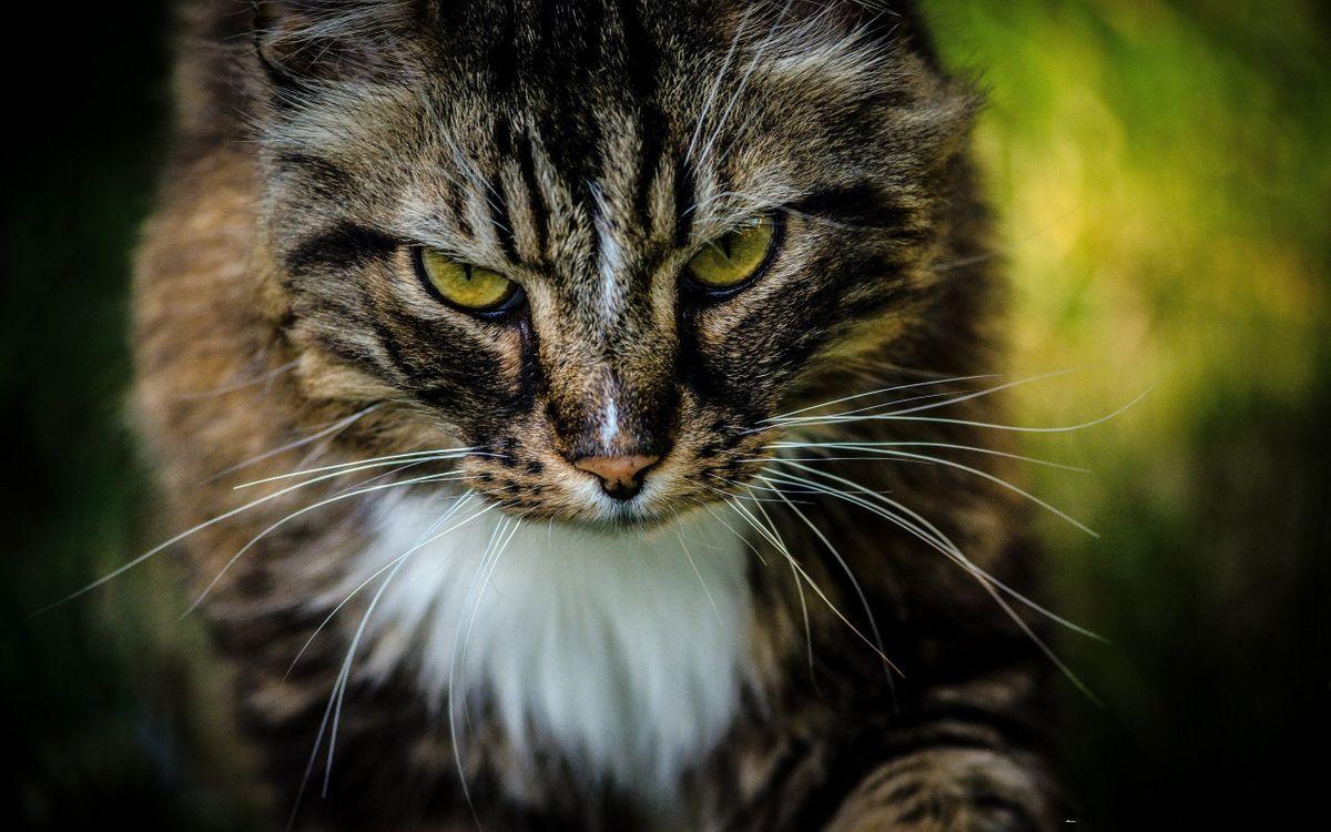 Фото бесплатно кот, злой, морда, глаза, шерсть, кошки
