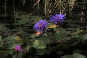 Фото бесплатно водоём, растения, водяные лилии
