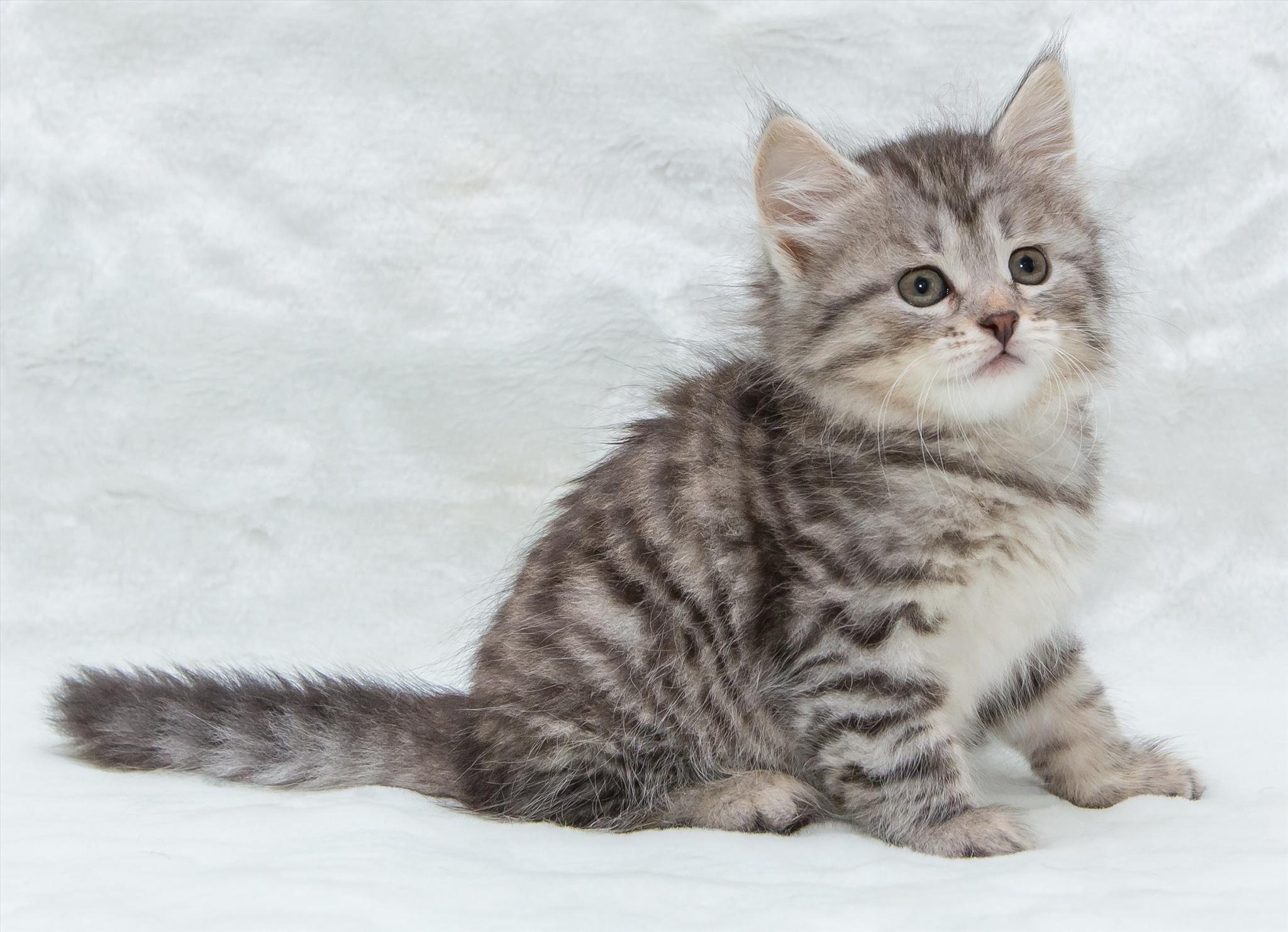 Обои котенок, серый, милый