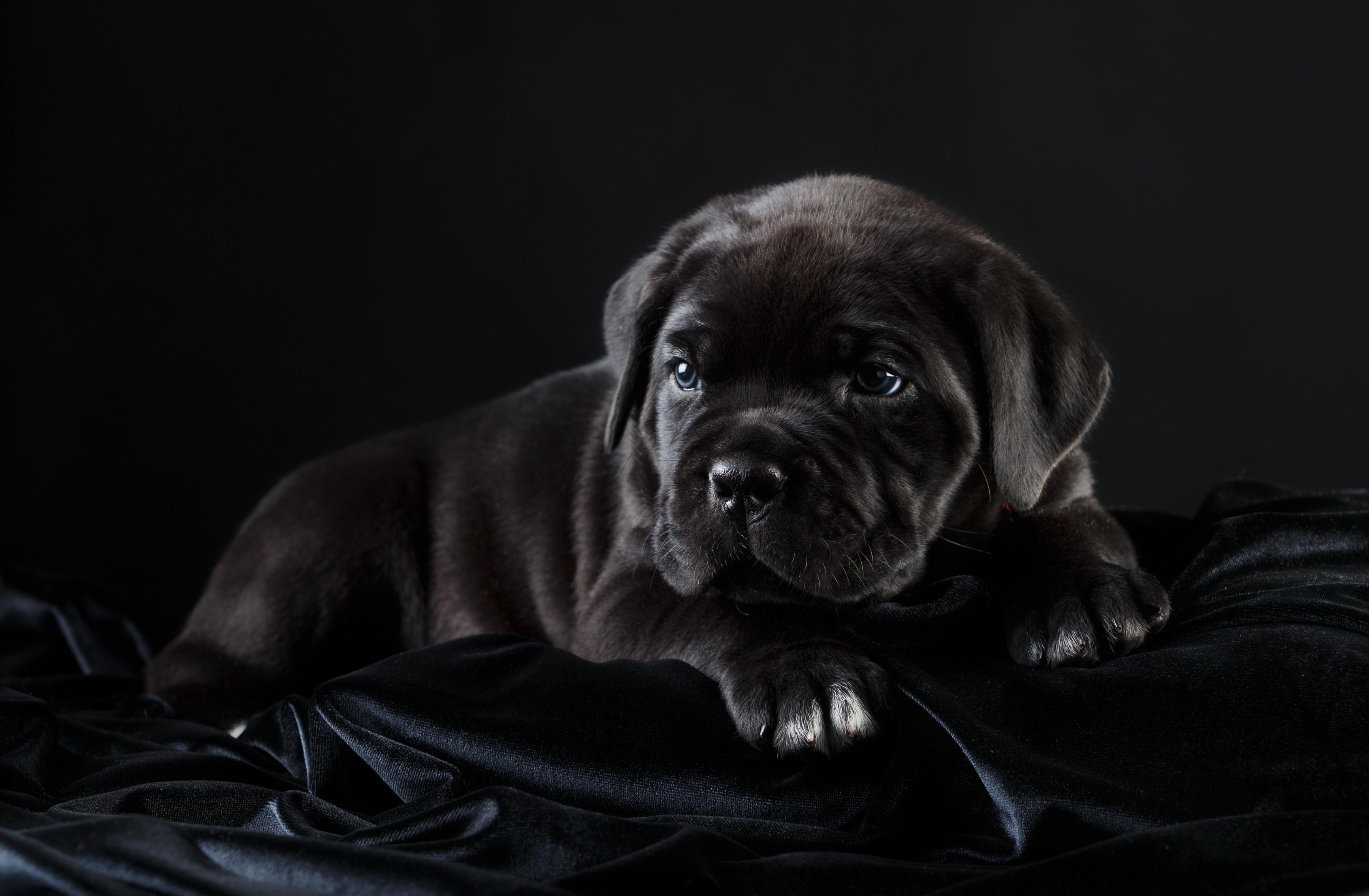 Обои черный, щенок, кане-корсо