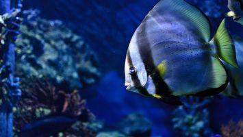 Фото бесплатно рыбка, плоская, плавники, хвост, окрас, кораллы