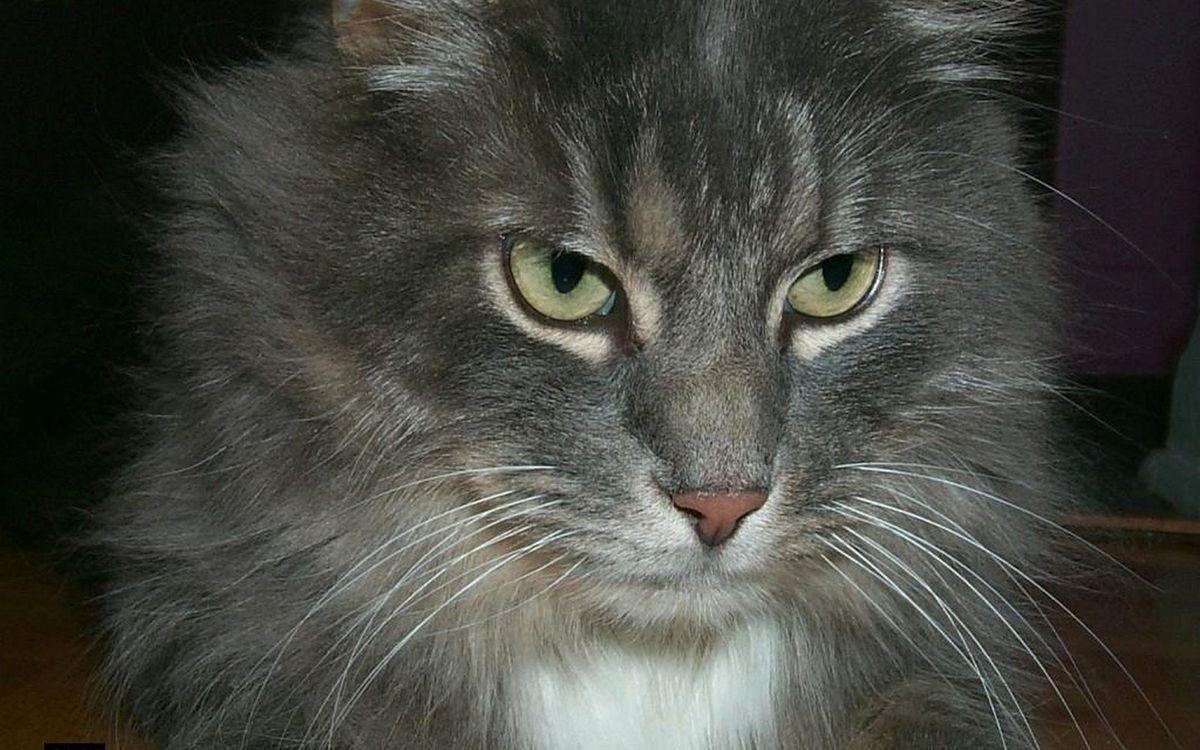 Фото бесплатно кот, серый, морда, глаза, пушистый, шерсть, кошки