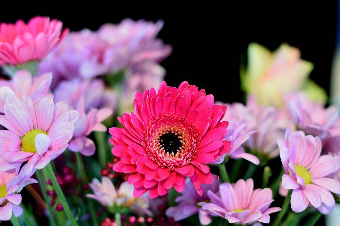 Фото бесплатно Gerbera, герберы, цветы - на рабочий стол