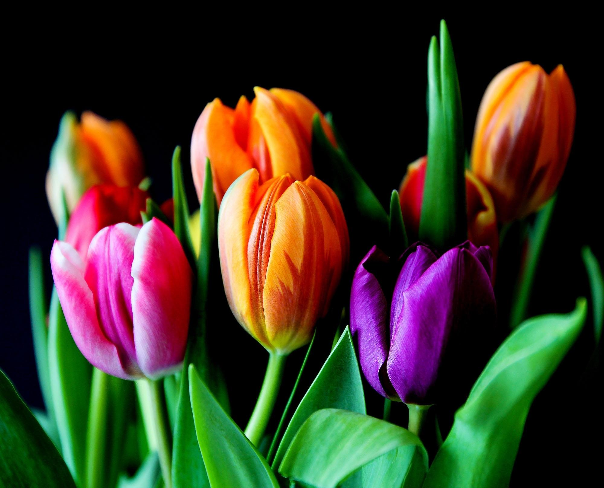 Обои тюльпаны, цветы, флора