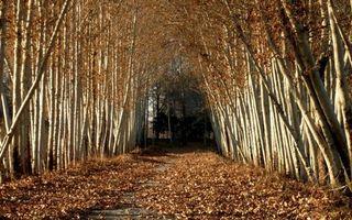 Фото бесплатно осень, листопад, тропа, деревья, осина