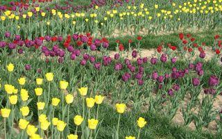 Бесплатные фото поле,тюльпаны,разноцветные,лепестки,стебли,листья