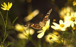 Бесплатные фото бабочка,усики,крылья,узор,окрас,лапки,цветочки