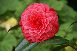 Бесплатные фото Camellia Japonica,камелия,лепестки,листья,макро,цветы,флора