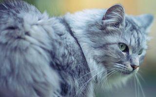 Фото бесплатно кот, серый, шерсть