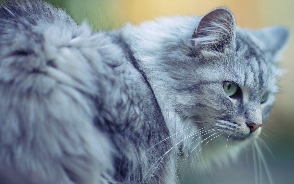 Фото бесплатно кот, серый, шерсть - на рабочий стол