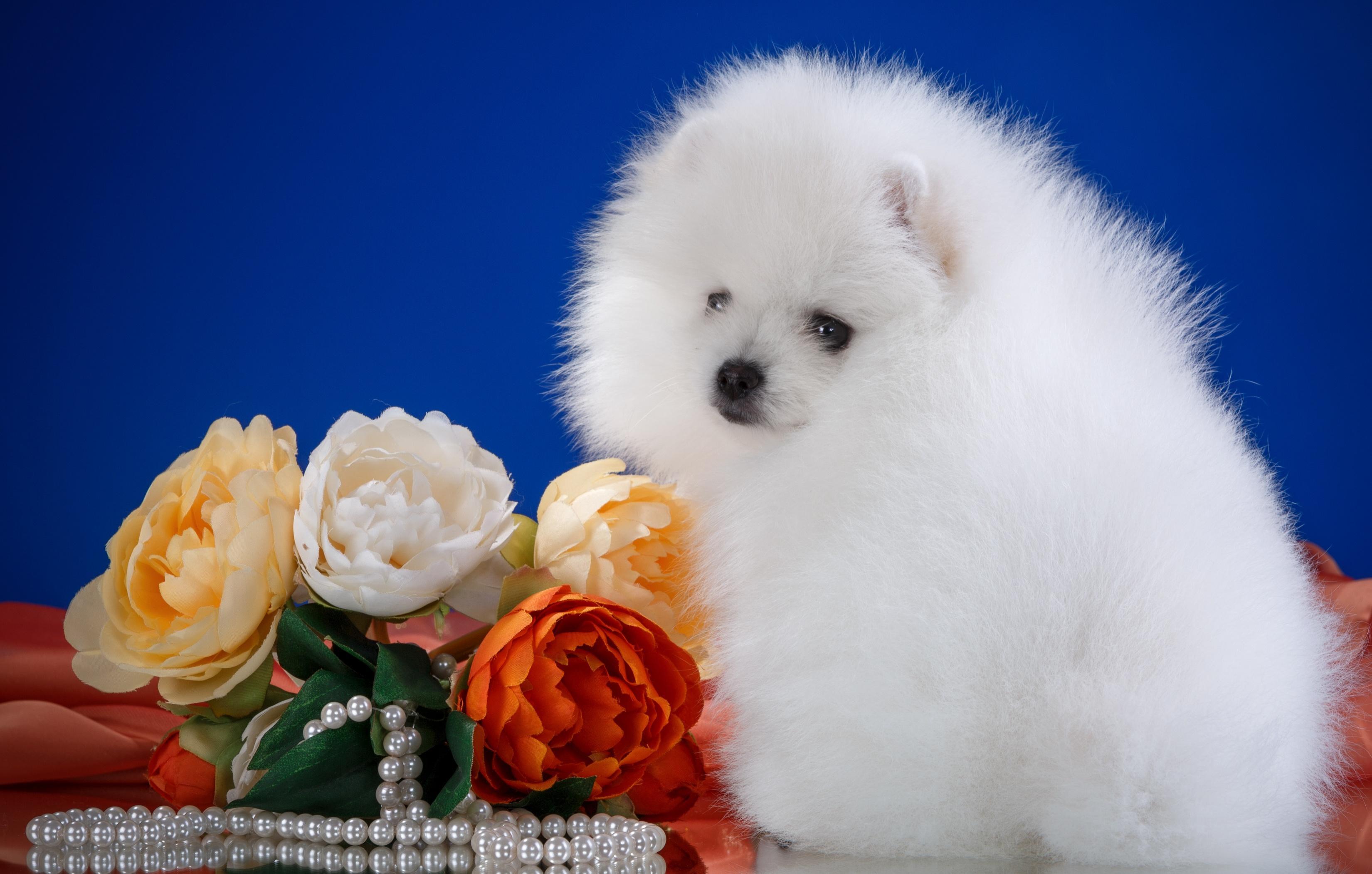Обои щенок, белый, шпиц