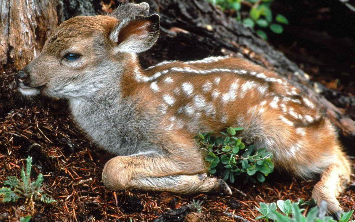 Фото бесплатно олененок, морда, шерсть, пятна, дерево, трава, животные
