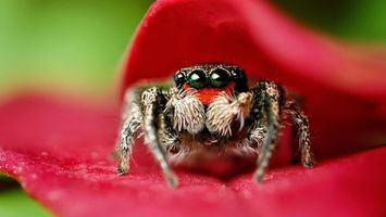 Бесплатные фото лепестки,красные,паук,лапы,волосики,глаза