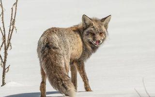 Бесплатные фото зима,лиса,морда,язык,лапы,хвост,шерсть серая