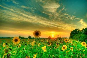 Бесплатные фото поле,подсолнухи,цветы,закат,пейзаж