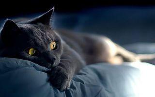 Бесплатные фото кот,британец,глаза,желтые,лежит,кровать