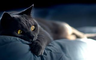 Фото бесплатно кот, британец, глаза