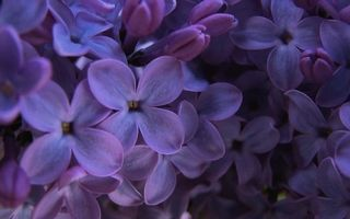 Бесплатные фото сирень,цветочки,лепестки,бутоны