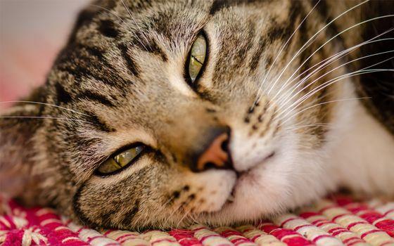 Заставки кот,морда,спокойствие,удовлетворение,взгляд,глаза