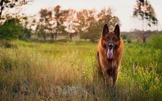 Бесплатные фото пес,овчарка,морда,язык,лапы,шерсть,трава