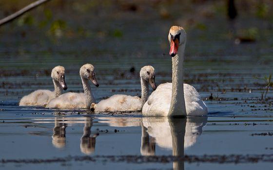Фото бесплатно лебедь, птенцы, клювы