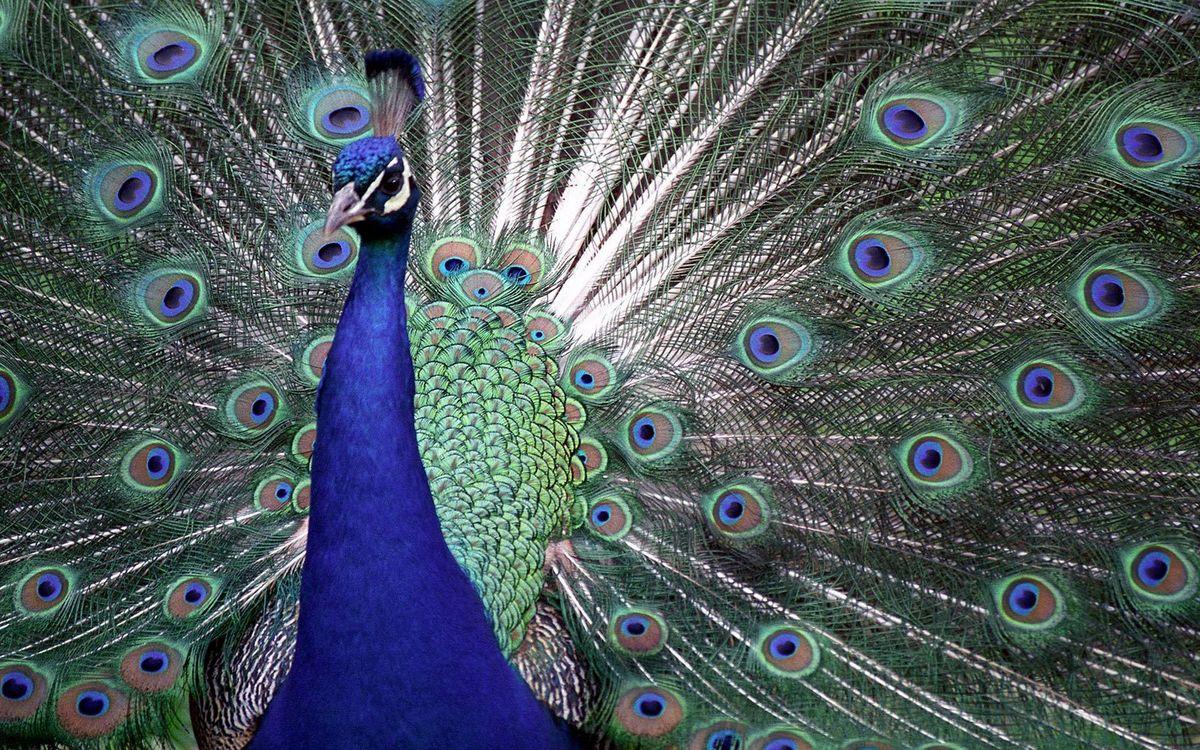 Фото бесплатно павлин, хохолок, хвост, веер, перья, синие, птицы