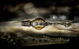 Фото бесплатно кракодил, морда, глаза