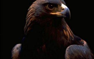 Бесплатные фото орел,хищник,взгляд,клюв,перья,крылья