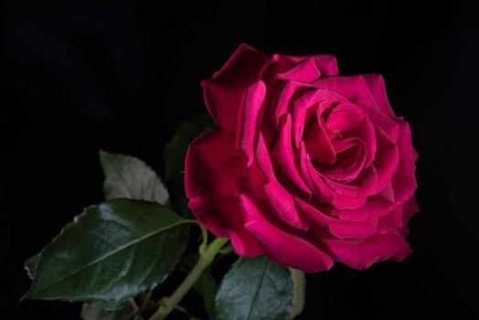Photo free flora, rose bud, rose