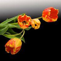 Фото бесплатно черный фон, тюльпаны, флора