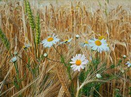 Бесплатные фото поле,колосья,цветы,ромашки