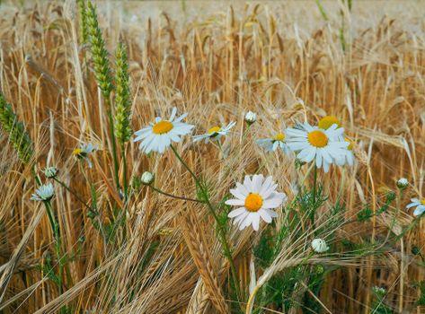 Photo free field, ears, flowers