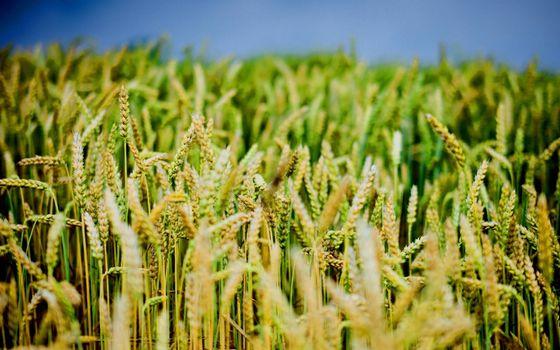 Фото бесплатно поле, колосья, стебли