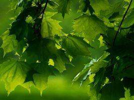 Бесплатные фото ветки,листья,клён,природа