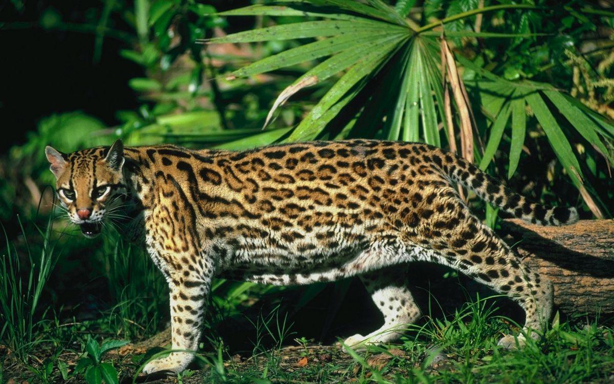 Фото бесплатно оцелот, оскал, морда, лапы, хвост, растительность, кошки