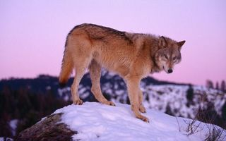 Заставки волк, морда, лапы, хвост, шерсть, камень, снег